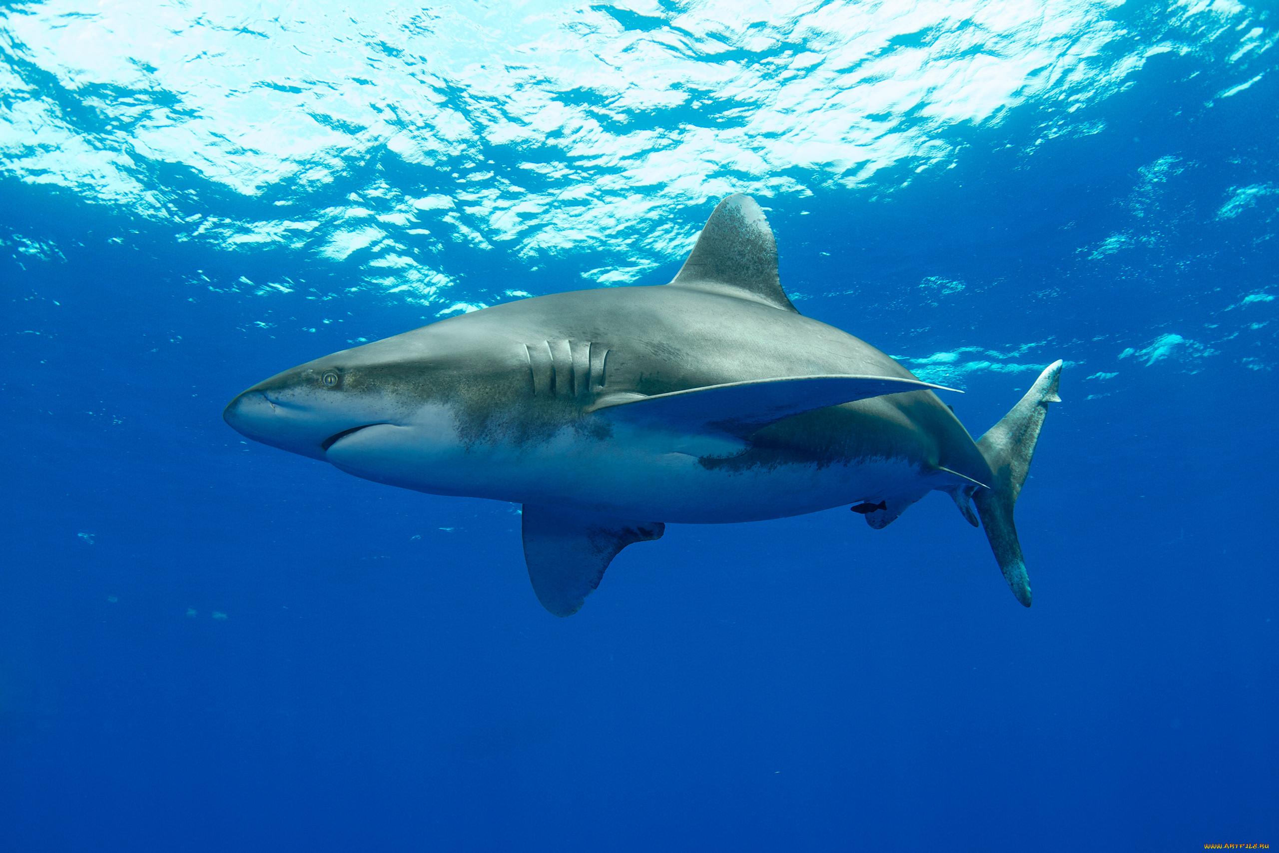 можно фотографии про акулу его